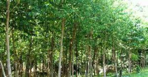 ไม้กฤษณา Agarwood