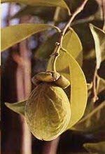 Aquilaria (Agarwood, Karas or Gaharu)