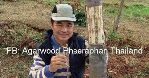 Pure Agarwood Oil From Thailand: เทคนิคการกระตุ้นต้นกฤษณาให้ผลิตสารเรซินในเนื้อไม้