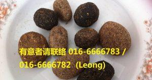 箭猪枣 Porcupine Dates