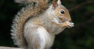 Apakah Tikus Memiliki Hubungan dengan Tupai?