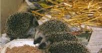 Dosis Makanan untuk Landak   Landak Mini Hedgehog Indonesia