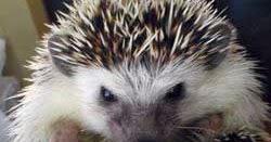 Memilih Landak untuk Pemula | Landak Mini Hedgehog Indonesia