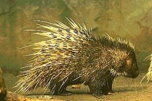 "PORCUPINE BEZOAR ""Believe to SAVE your life"""
