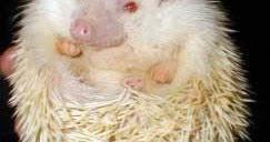 Penyakit-penyakit Landak Mini | Landak Mini Hedgehog Indonesia
