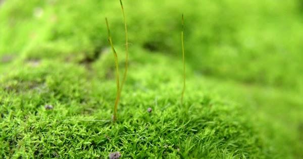 Plant Life: Mosses